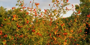 Rose Hip Bush