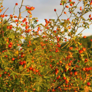 Rose Hip Bush | Rose Hip Seed Oil is included in facial skin care products by Synchronicity Hemp Oil.