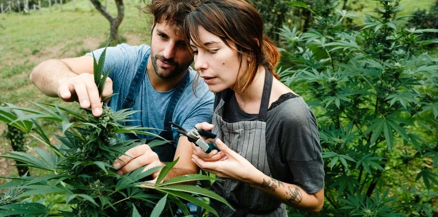 Hemp farmers working together on their cultivation