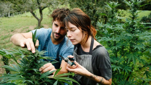 Hemp farmers working together on their cultivation. This year's crop will be better than ever thanks to new extraction processes that produce more CBD and other helpful byproducts