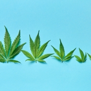 Hemp leaves of all sizes