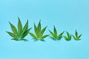 Hemp leaves of all sizes