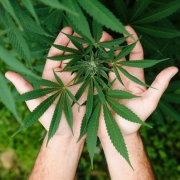 Two hands holding the hemp plant