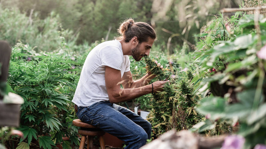 Man Taking Care Of Hemp In Garden | Hemp Oil Products by Synchronicity from plants with this level of care and attention.