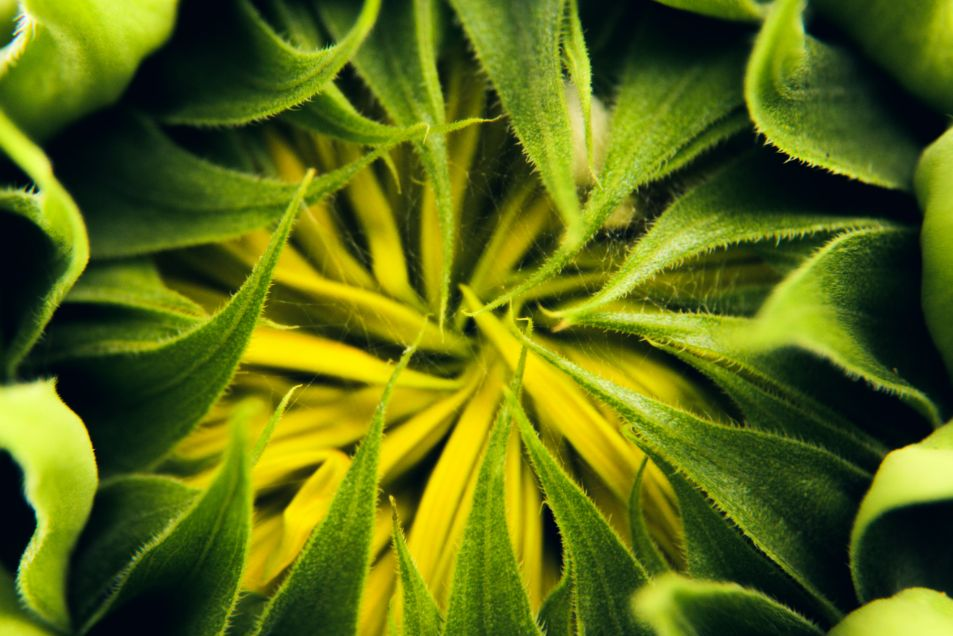 closeup-of-spiky-leaves-of-blooming-sunflower