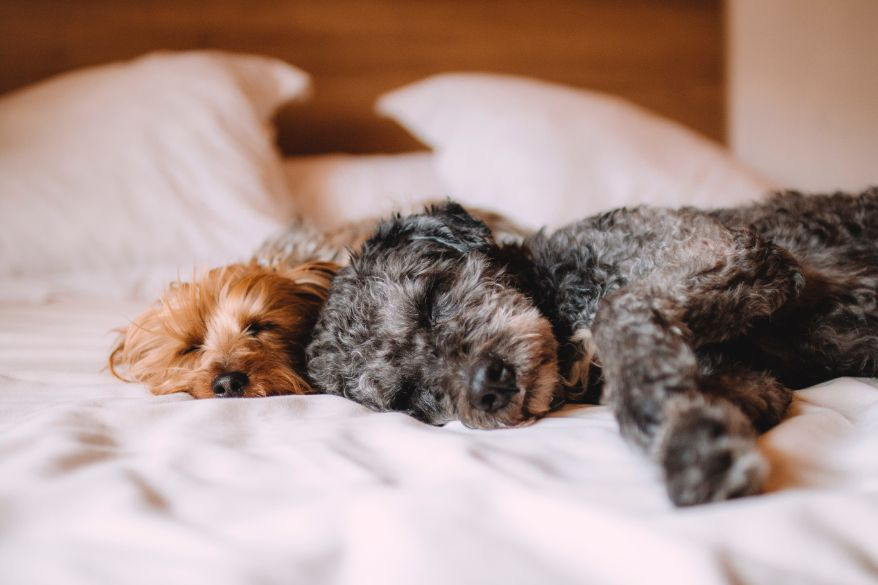 bed-animal-dog-dogs