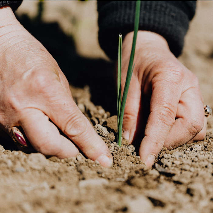 Hands planting hemp seedlings in a field to extract for CBD oils