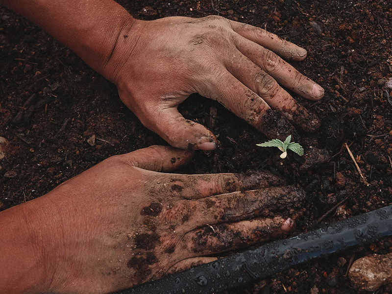 Did you know that just planting a hemp plant is very good for the earth and soil?