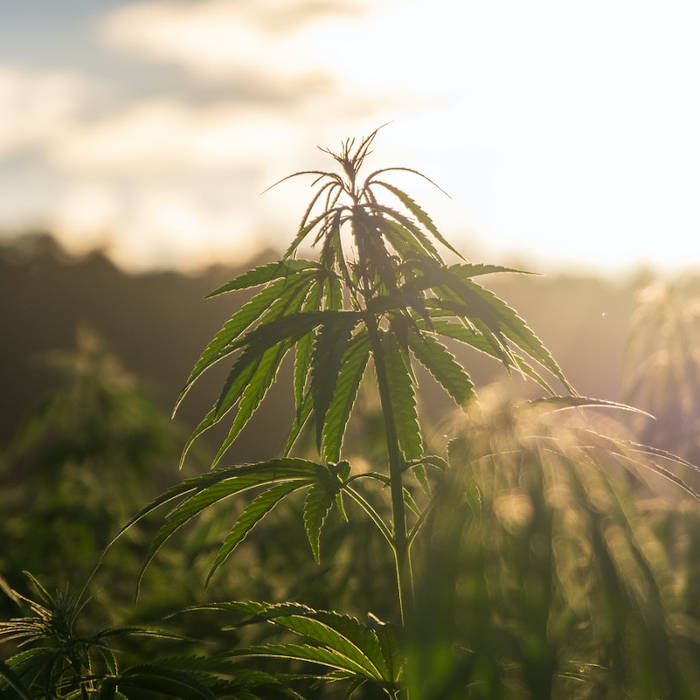 While some companies that produce CBD might use any old hemp plant, or any hemp they can get their hands on, Synchronicity grows their own special hemp species and processes it in house in accordance with stringent CBD quality control
