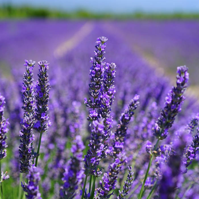 Lavender is not a source of CBD. It's widely grown, has practical uses. Synchronicity has chosen to grow a proprietary hemp plant species that itself has its own uses and products that can be derived from it.