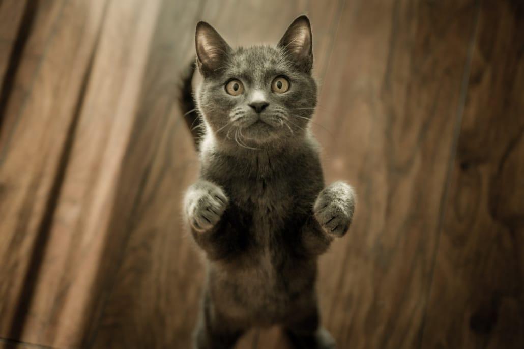 grey-kitten-on-floor