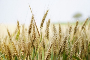 Wheat Stalks Closeup