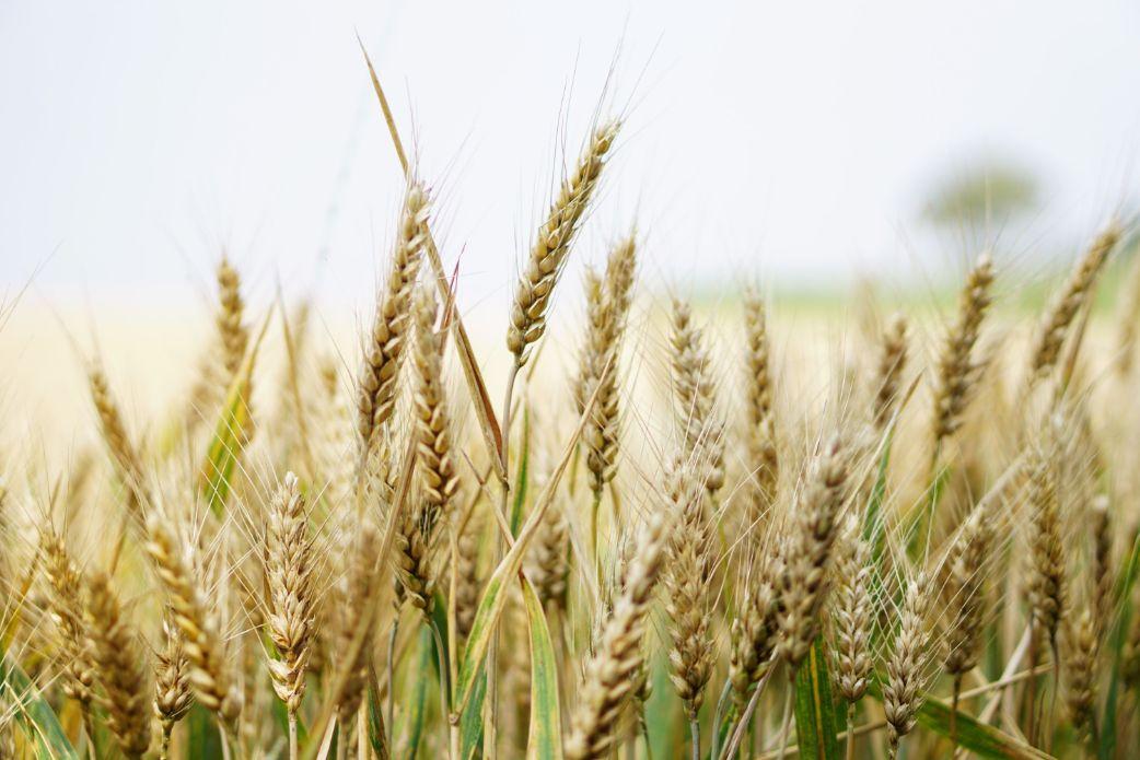 Wheat Stalks Closeup